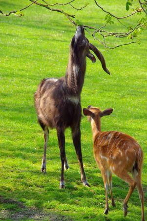 Antilope - antelope 04