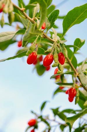 Goji Beere - goji berry 06
