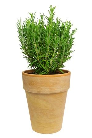 Rosemary isolated 01