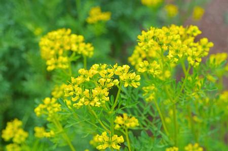 Common Rue, Ruta graveolens a herbal plant