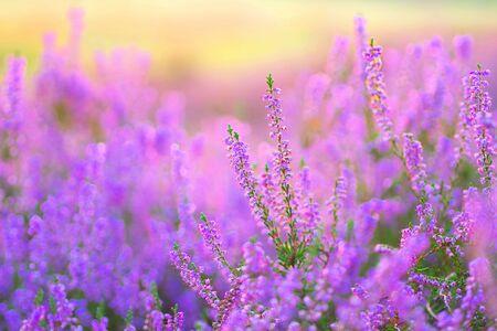 Photo pour flowering Heather, Calluna vulgaris in the morning backlight - image libre de droit