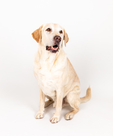 Photo for brown labrador dog sitting in a studio with white background - Royalty Free Image