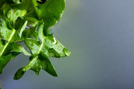 Dew drops on dandelion sheet