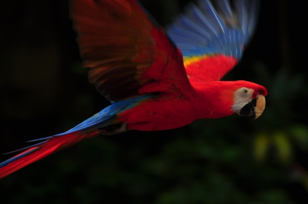A red color macaw bird flying in the air