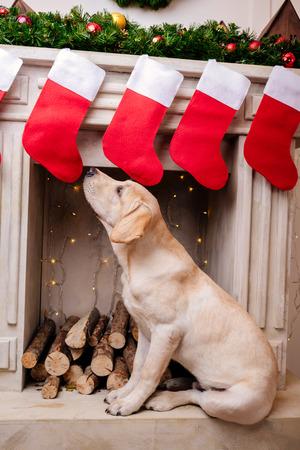 Photo pour labrador at fireplace with christmas socks - image libre de droit