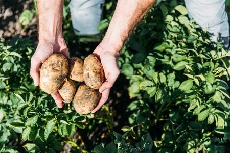 Photo pour close-up partial view of farmer holding ripe organic potatoes in field - image libre de droit