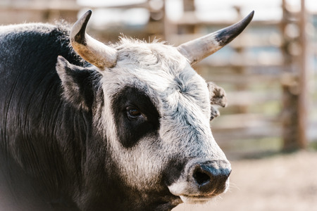 close up view of domesticated bull at zoo