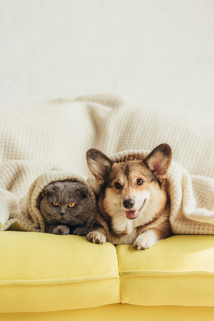 Foto de cute welsh corgi dog and cat lying under blanket on sofa - Imagen libre de derechos