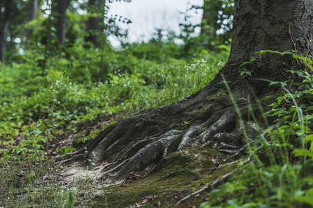 Foto per tree roots with ground covered with moss in forest - Immagine Royalty Free