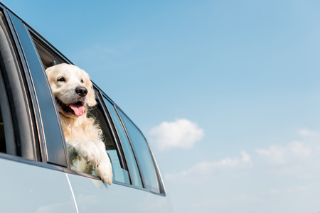 Foto de adorable golden retriever dog looking out car window in front of blue sky - Imagen libre de derechos