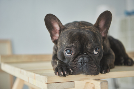 Foto de Close-up view of adorable black french bulldog lying on wooden table - Imagen libre de derechos