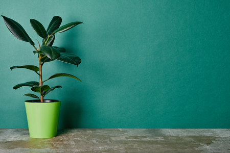 Foto de Ficus plant in flowerpot on green background - Imagen libre de derechos
