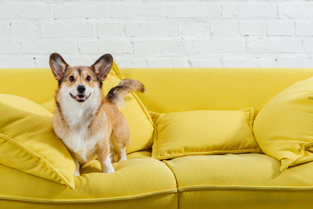 Foto de cute pembroke welsh corgi on sofa with white background - Imagen libre de derechos