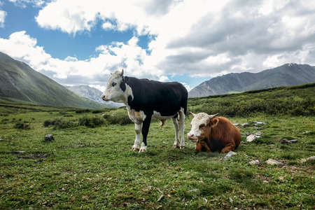 cows grazing on green grass in mountain valley in Altai, Russia