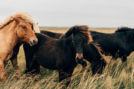 Photo pour beautiful black and brown horses on pasture in Iceland - image libre de droit