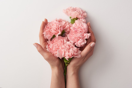 partial view of woman holding beautiful pink carnation flowers isolated on grey