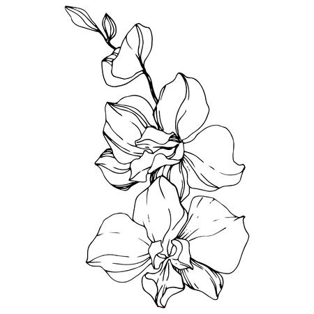 Illustration pour Vector Orchid. Floral botanical flower. Black and white engraved ink art. Isolated orchid illustration element on white background. - image libre de droit