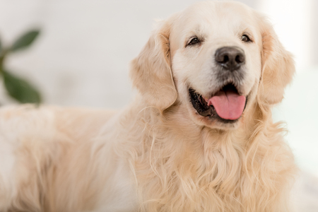 Foto de close up of cute golden retriever dog lying and sticking tongue out at home - Imagen libre de derechos