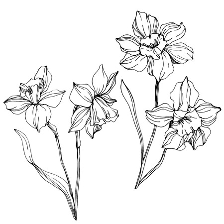 Illustration pour Vector Narcissus floral botanical flower. Wild spring leaf wildflower isolated. Black and white engraved ink art. Isolated narcissus illustration element on white background. - image libre de droit
