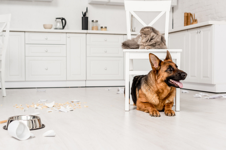 cute German Shepherd lying on floor and grey cat lying on chair in messy kitchen