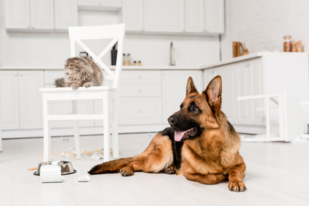 Foto de selective focus of German Shepherd lying on floor and grey cat lying on chair in messy kitchen - Imagen libre de derechos