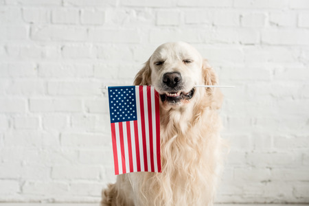 Photo pour cute golden retriever with closed eyes holding american flag - image libre de droit