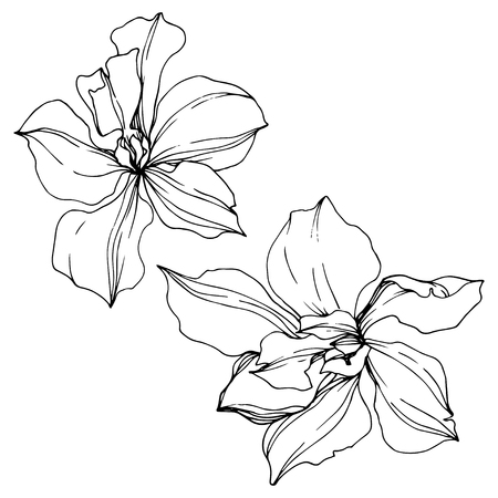 Vector Orchid floral botanical flowers. Wild spring leaf wildflower isolated. Black and white engraved ink art. Isolated orcids illustration element on white background.