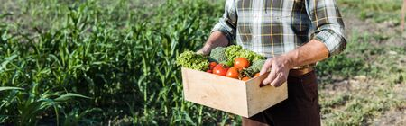 Foto de panoramic shot of senior farmer holding wooden box with vegetables near corn field - Imagen libre de derechos