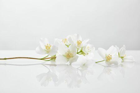 Photo pour fresh and natural jasmine flowers on white surface - image libre de droit