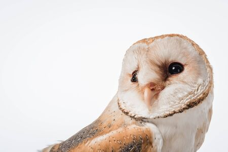 Photo pour beautiful wild barn owl isolated on white with copy space - image libre de droit