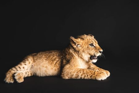 Foto de cute lion cub lying isolated on black - Imagen libre de derechos