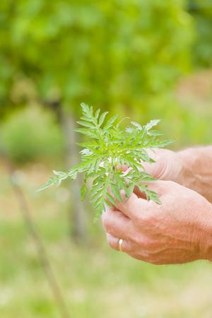 Rageweed before flowering - preventing allergic reaction.