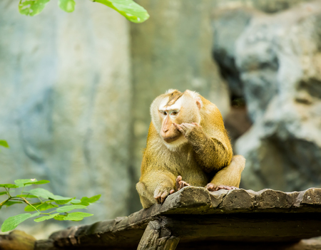 Monkey in chiangmai zoo Thailand
