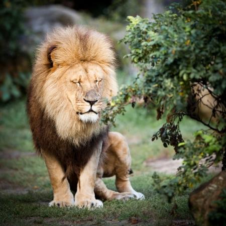 Photo pour majestic lion (Panthera leo) - image libre de droit
