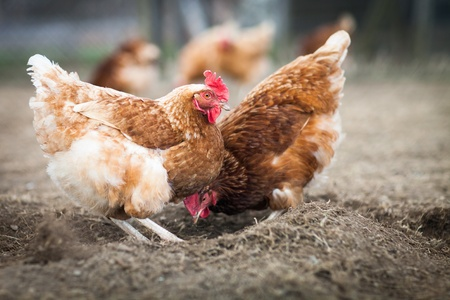 Closeup of a hen in a farmyard  Gallus gallus domesticus
