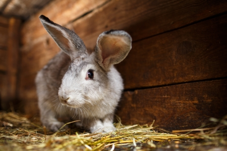 Photo for Cute rabbit popping out of a hutch (European Rabbit - Oryctolagus cuniculus) - Royalty Free Image