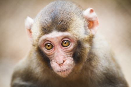 Closeup of a baby Japanese macaque (Macaca fuscata)