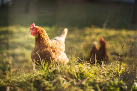 Foto de Hen in a farmyard (Gallus gallus domesticus) - Imagen libre de derechos