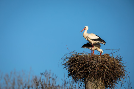 Photo pour Elegant white stork (Ciconia ciconia) during the nesting season, busy taking care of his little ones - image libre de droit