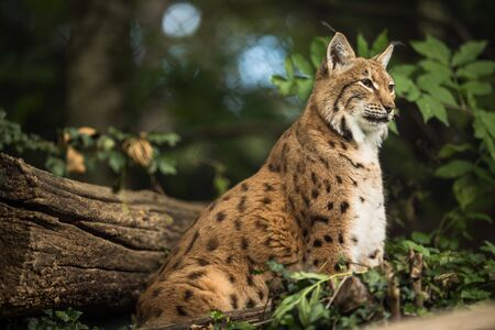 Photo pour Eurasian Lynx (Lynx lynx) - image libre de droit