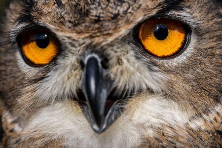 Photo pour Eurasian eagle-owl, Bubo bubo, close-up view - image libre de droit