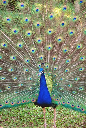 mal peacock show off colorful feathers