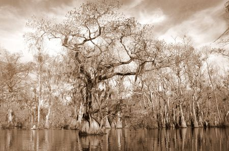 Sepia image of Cypress and tupelo swamp