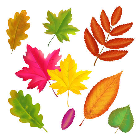 Illustration pour Set of colorful autumn leaves. Vector realistic fall leaf collection. Maple, oak, rowan yellow and red leaves illustration - image libre de droit