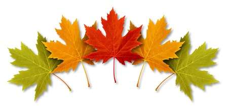Autumn Leaves with five maple leaf foliage arranged in a multi colored seasonal themed concept as a symbol of the fall weather on a white background