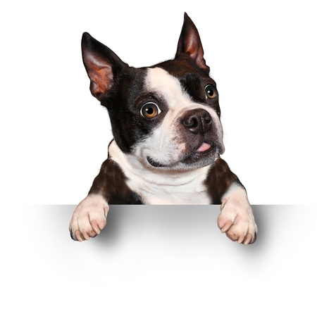 Cute dog holding a blank sign as a Boston Terrier with a smiling happy expression sending a message pertaining to pet care on a white background