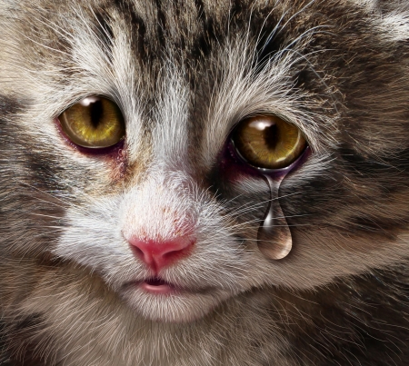 Animal abuse and pet cruelty and neglect with a sad crying kitten cat looking at the viewer with a tear of despair as a concept of the need for humane treatment of living things