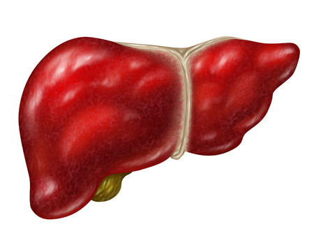 Human liver body part isolated on a white