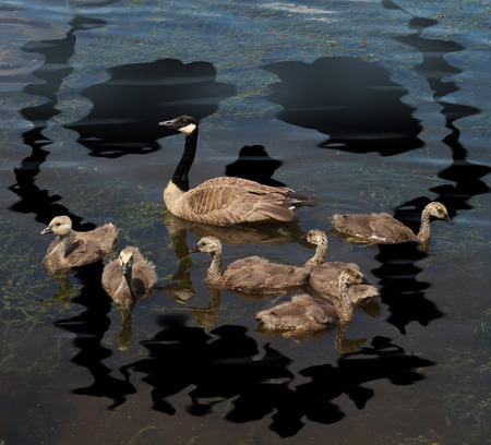 Wildlife danger and animal conservation concept as a young family of canada geese on a lake polluted from a toxic oil spill shaped as a death skull symbol as a metaphor for environmental damage to nature and the protection of natural habitat