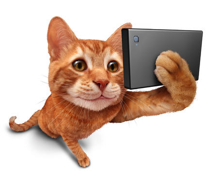 Selfie cat on a white background as a cute orange tabby kitty with a smile in forced perspective taking a selfy portrait picture with a smart phone or digital camera as funny and humorous social networking symbol.